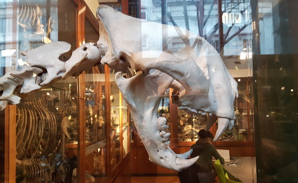 Photo of dinosaur skull appeaing to eat someone in a museum!
