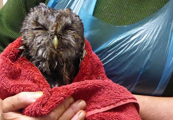 Fluffy owl wrapped in a towel, being held by volunteer. Close up.
