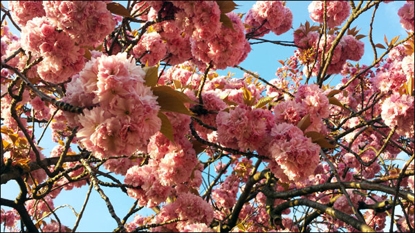 cherry tree heavy with pink blossom