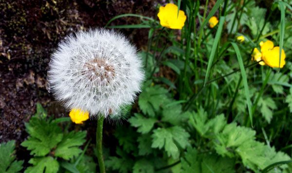 dandelion fluffy clock plus a few buttercups