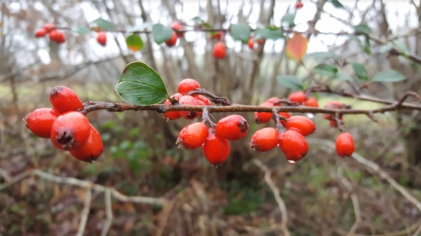 red berries on a tree on a grey misty day