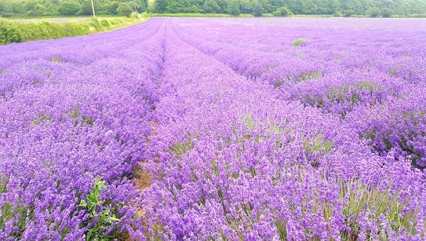 Lavender field in Kent
